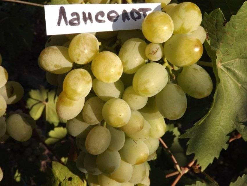 """Сорт винограда """"ланселот"""""""