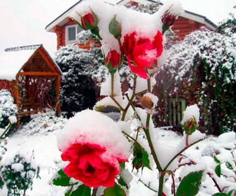 Как правильно подготавливать розы к зиме?