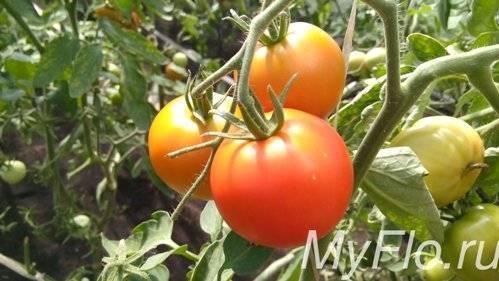Как часто поливать помидоры: как правильно поливать помидоры в открытом грунте и в теплице? (75 фото + видео советы)