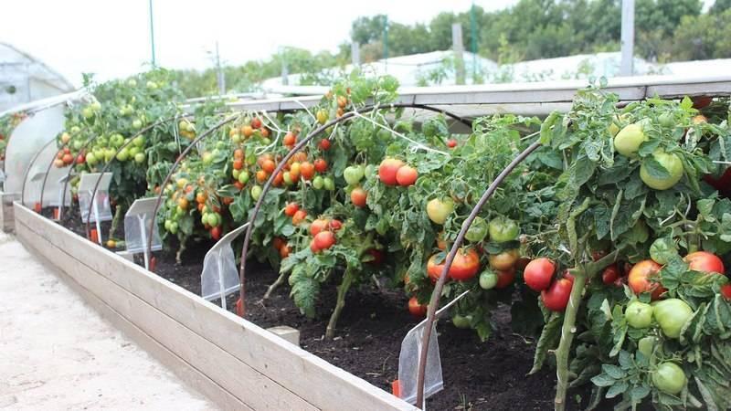 Высокоурожайный скороспелый плод — томат непасынкующийся розовый: полное описание сорта