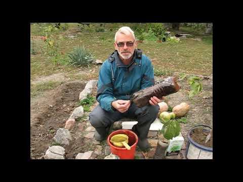 Выращивание хурмы из косточки в домашних условиях и уход за деревцем