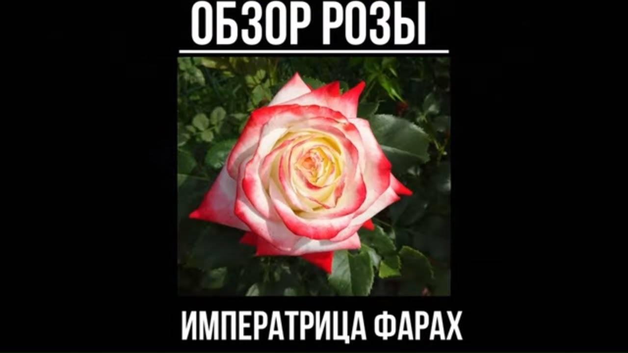 Роза «императрица фарах» — описание чайно-гибридного сорта, особенности выращивания, фото