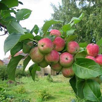 """Яблоня """"грушовка"""": описание сорта, фото, отзывы"""