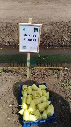 Перец халиф f1: отзывы, фото, урожайность, характеристика и описание сорта