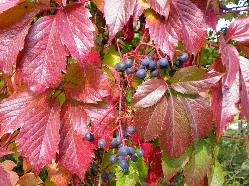 Листья красного винограда полезные свойства и противопоказания | мой сад и огород