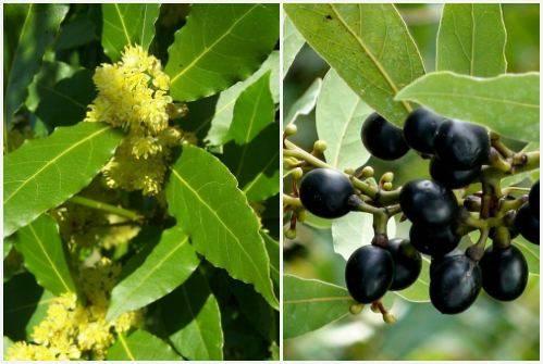 Лавровый лист: выращивание в домашних условиях из семян, болезни, обрезка + фото