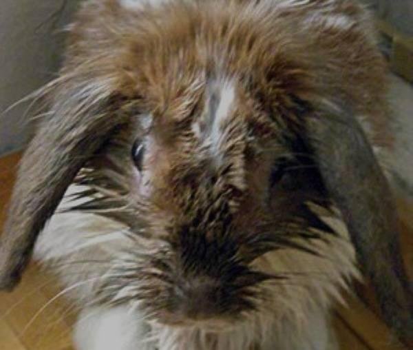 Мокрец у кроликов: обзор болезни и ее лечение мокрец у кроликов: обзор болезни и ее лечение