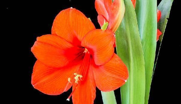 Амариллис: сорта, выращивание и уход в домашних условиях