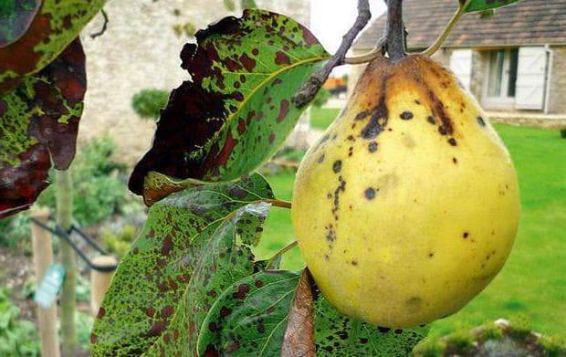 Парша: чем обработать, препараты, как бороться на яблоне, груше
