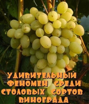 Виноград августин, феномен: описание сорта фото, отзывы