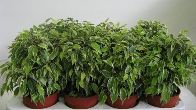 Выращивание фикуса бенджамина в домашних условиях: как ухаживать за растением, трудности выращивания