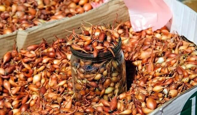 Как сажать лук севок в открытый грунт