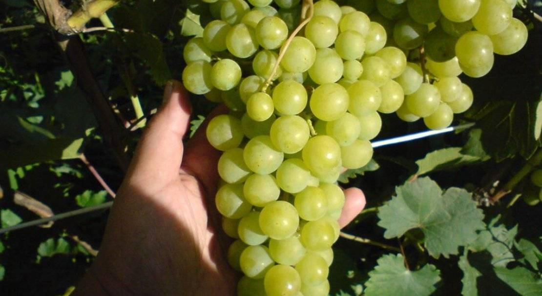 Виноград алешенькин: описание сорта, фото, отзывы, выращивание и уход