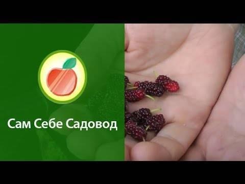Популярные сорта шелковицы. описание и фото. рекомендации по уходу и выращиванию