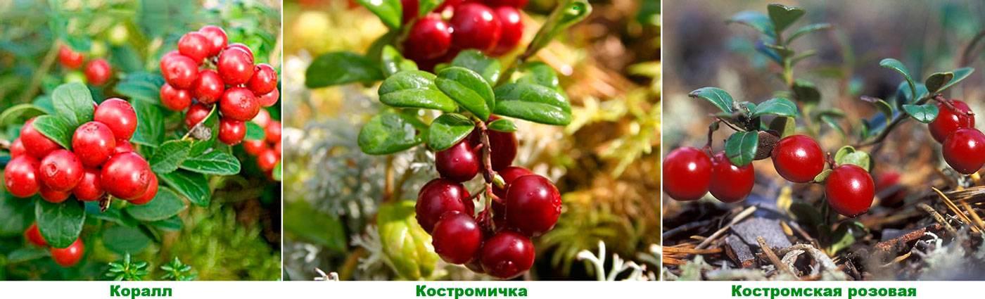 Брусника садовая – размножение, посадка и уход