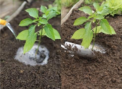 Как поливать перец – рассаду, на подоконнике, в домашних условиях, в открытом грунте, теплице