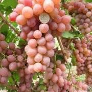 Сорт винограда: светлана