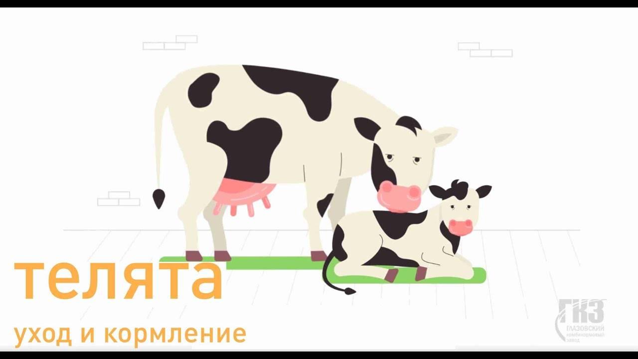 Кормление сухостойных коров: особенности рациона и нормы концентратов