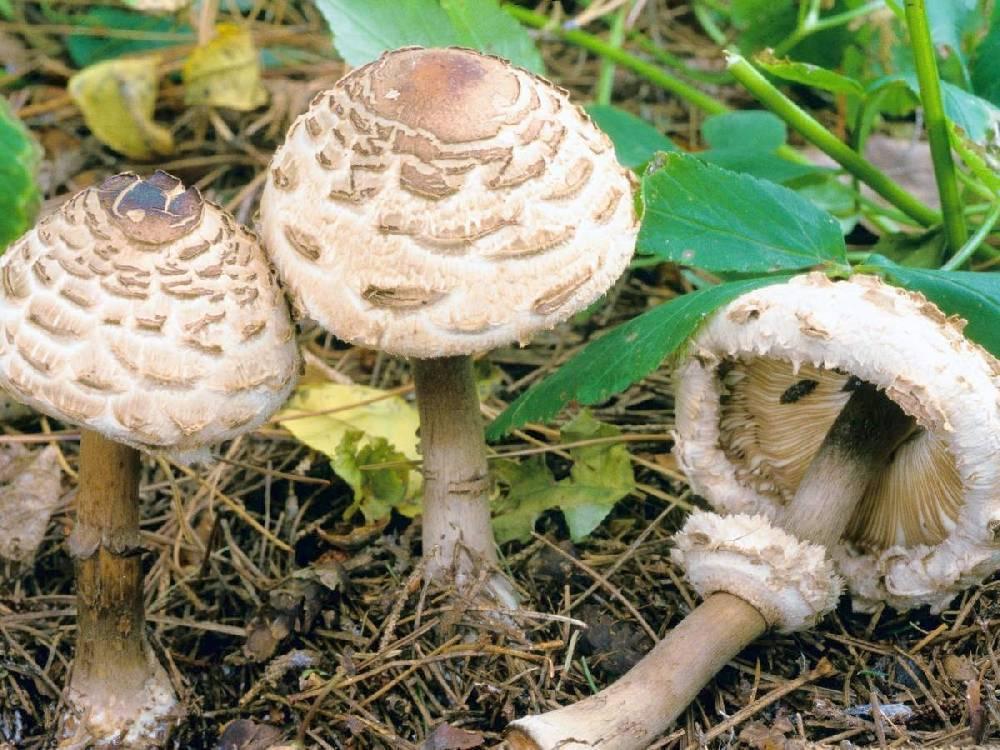 Гриб зонтик: описание, где растет, когда собирать и правильно определить съедобный вид