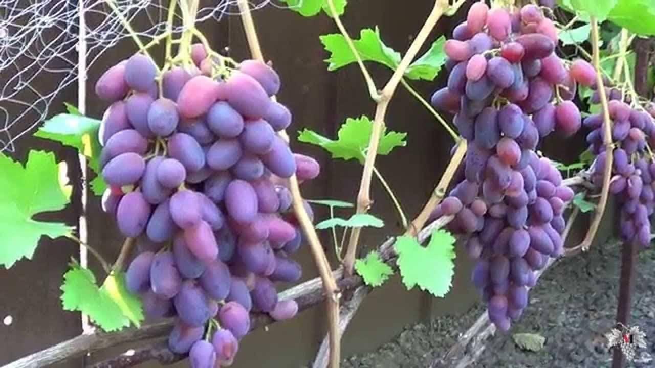 Виноград ризамат - описание сорта, фото, отзывы