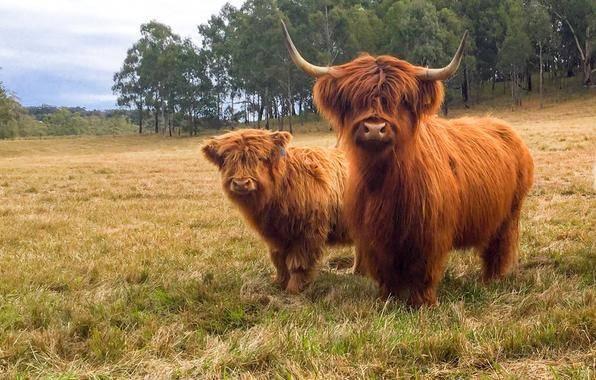 Высокогорная шотландская порода коров хайленд