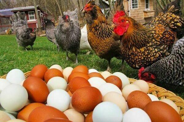 Как разводить в воде метронидазол цыплятам: для чего применяется, каковы особенности приема и дозировки? selo.guru — интернет портал о сельском хозяйстве