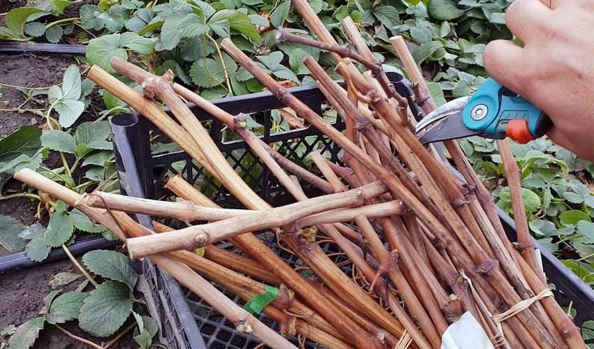 Как сохранить чубуки винограда, срезанные осенью до самой весны: хранение в погребе или в холодильнике, другие способы