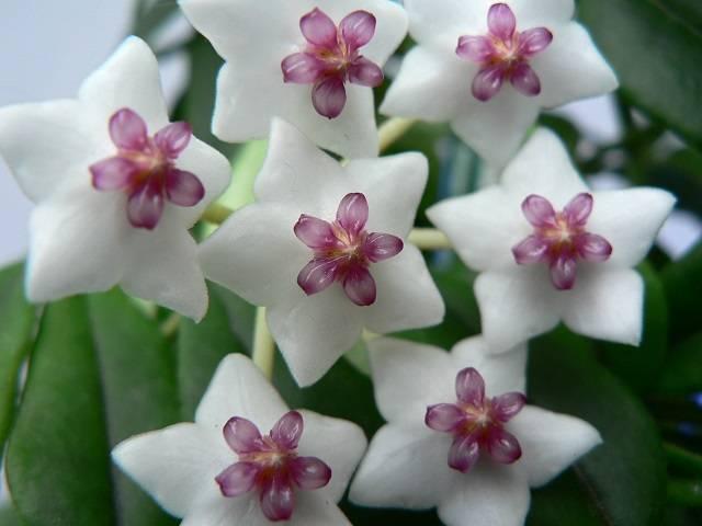 """Хойя: виды и сорта, советы по выращиванию в домашних условиях - проект """"цветочки"""" - для цветоводов начинающих и профессионалов"""