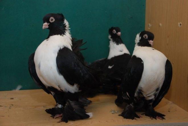 Узбекские бойные голуби: фото, описание, породы — selok.info
