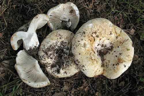 Подгруздок белый (сухой груздь): описание, где растет, фото
