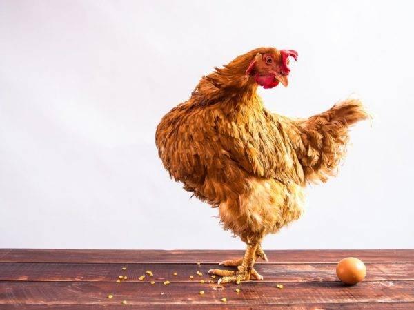 Может ли курица нести яйца без петуха, доказанные наукой доводы, роль петуха