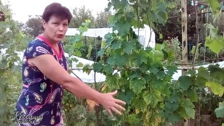 ᐉ у вашего винограда желтеют и засыхают листья? узнайте, что нужно делать! - hydrosad.ru