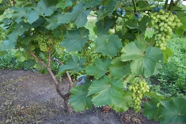 Левокумский виноград: описание сорта и особенности ухода