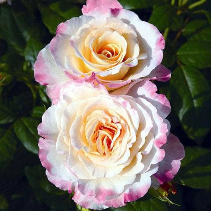 Роза глория дей, посадка и уход. сорта розы глория дей: описание, выращивание, фото