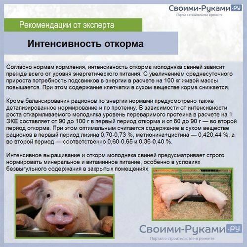 Откорм свиней и поросят на мясо в домашних условиях, чем кормить