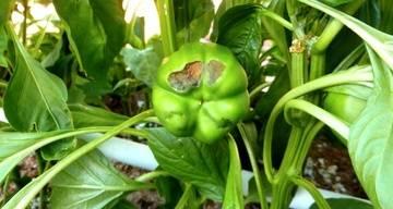 Плоды перцев чернеют на кусте при созревании: причины потемнения, что делать, как спасти горький или сладкий болгарский перец