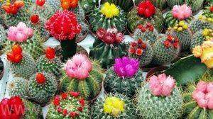 Уход за кактусом в домашних условиях: размножение, пересадка, полив