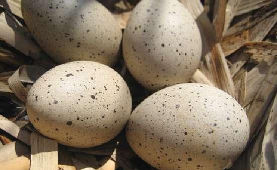 Яйца индоутки: польза и вред, что можно приготовить