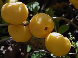 Айва «японская»: размножение черенками, выращивание и уход