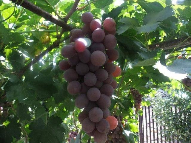 Виноград рута: описание сорта с характеристикой и отзывами, особенности посадки и выращивания, фото