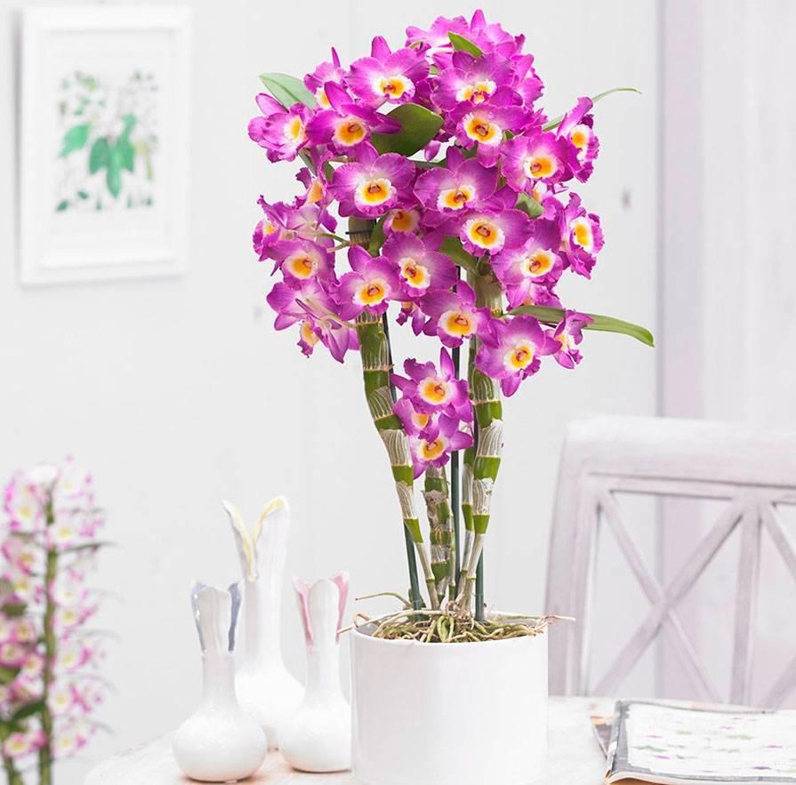 Орхидея дендробиум – уход в домашних условиях. распространенные виды. что делать с цветком после покупки? правила ухода и размножения | (110+ фото и видео)