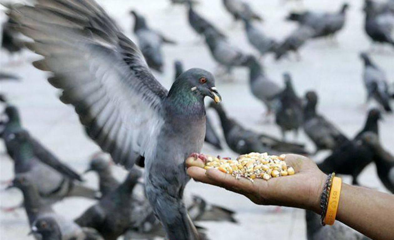 Как руками поймать голубя: безвредные для птицы способы ловли