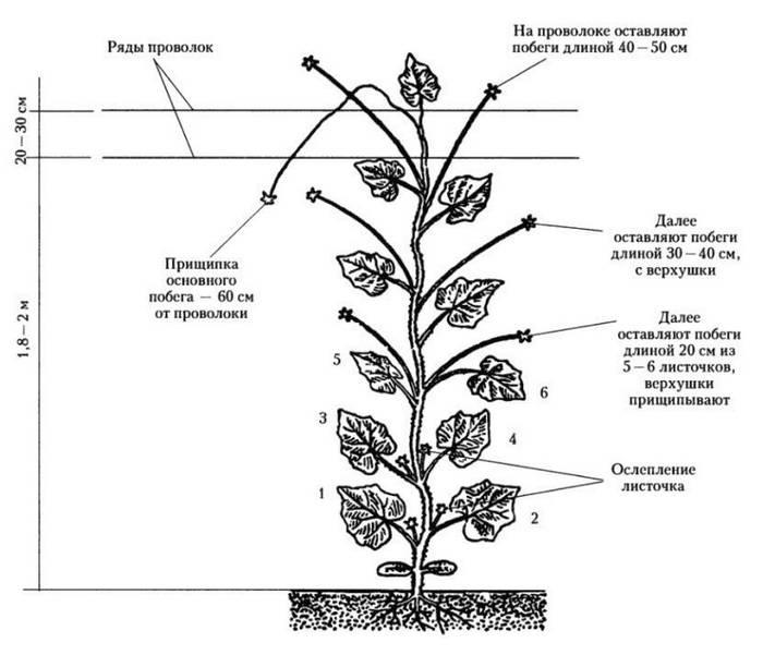 Как формировать огурцы в теплице: пошаговое фото, схема