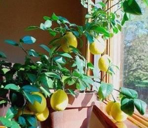 Лимон мейера — уход в домашних условиях и описание сорта, плодоношение и болезни комнатного лимона, выращивание из косточки