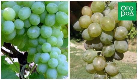 Виноград доминик — описание сорта, фото, отзывы, видео.
