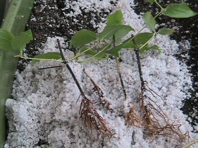 Размножение клематисов черенками в домашних условиях весной и осенью