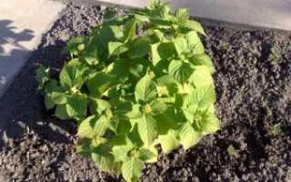 Посадка и выращивание гортензий в саду на урале