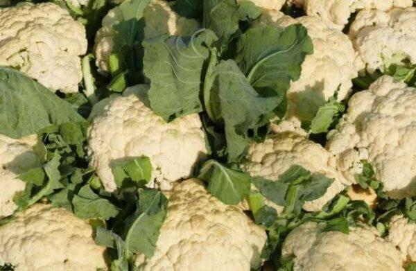 Можно ли и как замораживать цветную капусту на зиму в домашних условиях для ребенка? русский фермер