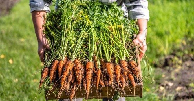 Удобрения при посадке моркови: почему важны для хорошего урожая, какую подкормку вносить и как это делать, что произойдет, если будут допущены ошибки? русский фермер