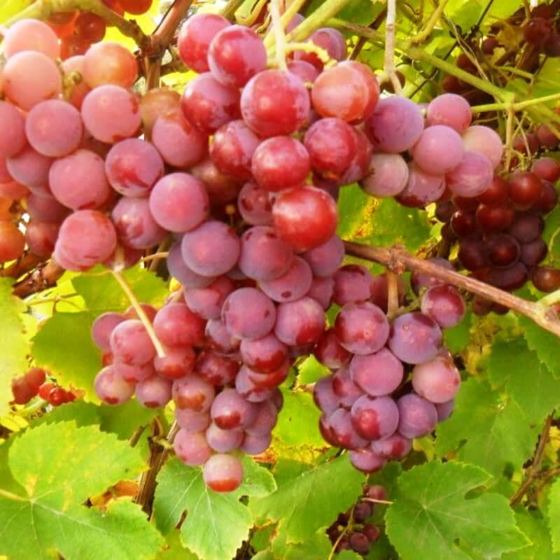 Лучшие сорта винограда для выращивания в беларуси с описанием, характеристикой и отзывами
